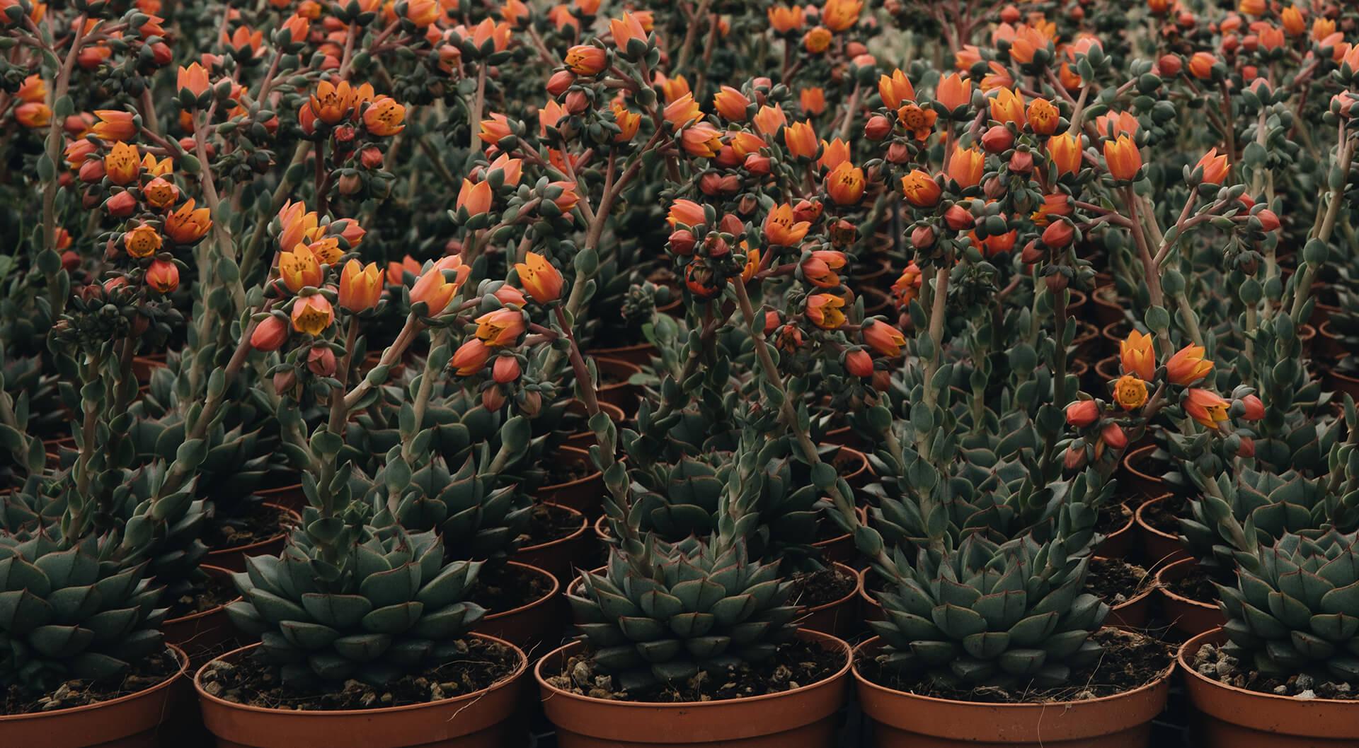 bisceglia succulente